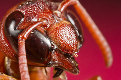 Red Wasp (Mnahi Alghamdi) Tags: lighting light red macro canon photography photographer group micro mpe   elites wsap     alghamdi   mnahi