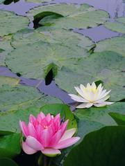 2012.06.03 Pink and White Water-Lily (eriko_jpn) Tags: whiteflower pond waterlily lotus waterlilies pinkflower nympheas whitelotus lotusflower lotuspond