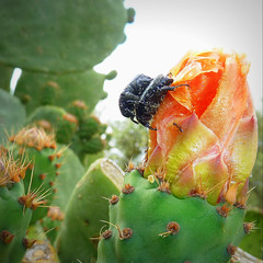 a prickly pair with ant on a prickly pear (jjamv) Tags: pink flowers red arizona cactus italy white flower macro nature yellow fruit fauna cacti bug insect flora mediterranean italia campania purple desert fig blossom beetle rosa petal evergreen pollen opuntia pricklypear escarabajo fiore petali hermaphrodite stigma cockroach insetto kfer kever rockrose tunas cistaceae indianfig besouro oedemeranobilis cistusincanus scarafaggio coloptre thegalaxy oxythyreafunesta stami cistusalbidus opuntiaficus violales zistrose mediterrenea ficidindia 100commentgroup ficudinnia barbaryfig mygearandme jjamv julesvtravel violettostamen indicaflower