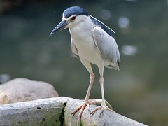 Black-crowned Night Heron (SivamDesign) Tags: bird heron fauna night canon eos rebel kiss x4 blackcrownednightheron nycticoraxnycticorax nightheron blackcrowned 550d canonef300mmf4lisusm t2i