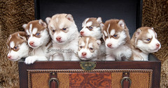 Siberian Husky Puppies! (Jesse James Photography) Tags: cute puppy puppies nikon siberianhusky siberians