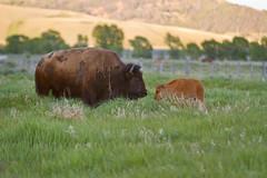 "Bison calf and mother (IronRodArt - Royce Bair (""Star Shooter"")) Tags: baby cute animals mammal buffalo american calf bison grandtetonnationalpark babyanimal babyanimals americanbuffalo americanbision"