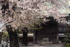 Cherry blossom in temple (kasa51) Tags: tree japan temple wind petal cherryblossom yokohama 花吹雪 中田寺 泉区中田北