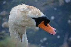 Hola 01 (JoseLuisCcNn) Tags: birds aves cygnus