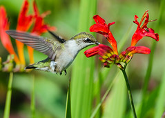 Hummer at Crocosmia 2 (Jen St. Louis) Tags: flowers ontario canada bird garden inflight backyard hummingbird elmira rubythroatedhummingbird backyardbirding nikon300mmf4 nikond7000 jenstlouisphotography wwwjenstlouisphotographycom
