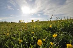 wide angle Dorset (dawn.v) Tags: uk england landscape countryside nikon may dorset buttercups wideanglelens 2016 wingreenhill wideangledorset