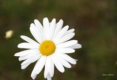 22-IMG_1901 (hemingwayfoto) Tags: blhen blte blume facebookgrus gemeinewucherblume margerite natur pflanze