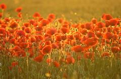 IMG_0001x (gzammarchi) Tags: italia tramonto natura campagna fiore paesaggio ravenna pianura papavero borgomontone