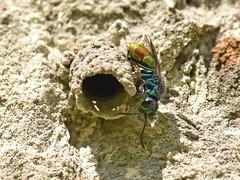 DSC_5948 Chrysis sp. - Fmdarzs (Gabor_Id) Tags: chrysis potterwasp chrysididae odynerus cukkoowasp
