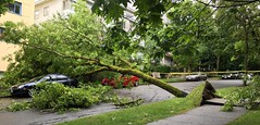 treedown1 (Sherwood411) Tags: street storm tree vancouver bc wind down fallen damage burnaby westend uprooted sherwood411