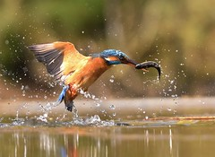 Kingfisher (charlie.syme) Tags: bird water fishing nikon kingfisher splash