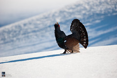 Lifelong dream! Finally I shot a Capercaillie!! (Edoardo Brotto) Tags: gallo wildlife capercaillie cedrone