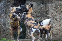 Wanna dance (Cloudtail the Snow Leopard) Tags: wild dog animal mammal zoo african basel tier lycaon sugetier pictus canidae afrikanischer wildhund