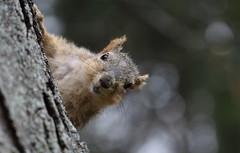 Squirrel, Cantigny Park. 40 (EOS) (Mega-Magpie) Tags: park usa tree nature america canon outdoors eos illinois squirrel branch outdoor wildlife dupage il wheaton cantigny 60d