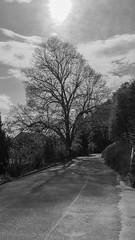 vineyard up, Wettingen-09983 (dironzafrancesco) Tags: road trees shadow plant nature monochrome landscape schweiz vineyard outdoor strasse sony natur pflanze skyandclouds landschaft bume schatten aargau ch weinberg wettingen imfreien himmelundwolken schwrzweiss slta77 dt1650mmf28ssm