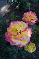 DSC07388.jpg (liangjinjian) Tags: usa flower geotagged maryland silverspring  glenallen alphaa55sony geo:lat=3905861333 geo:lon=7703550833