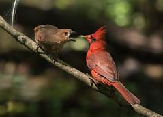 Eat Your Greens (PeterBrannon) Tags: bird nature cardinal feeding florida wildlife fledgling cardinaliscardinalis redbird northerncardinal hillsboroughcounty cardinalfeeding