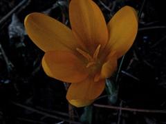 Crocus spec 5 (heinvanwinkel) Tags: nederland tuin 2008 krokus februari iridaceae nieuwkoop magnoliidae spermatophyta tracheophyta ixieae iridoideae lilianae euphyllophyta crocusspec bloemvandedag iridales iridineae