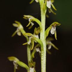 20160516-068F (m-klueber.de) Tags: flora orchidaceae orchidee rhn 2016 corallorhiza europische trifida korallenwurz rhnflora dreispaltige cortrif mitteleuropische mkbildkatalog 20160516 20160516068f