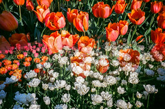 Spring Flowers 2016 (cgc76) Tags: color film gardens brooklyn 35mm botanical spring lomo lca exposure tulips superia iso 400 montage multiple fujifilm xtra 2016