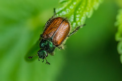 Beetle (Ian Thorp) Tags: nature animal germany garden insect wildlife beetle scarab cafer phylloperthahorticola invertibrate nikond7200 sigma105128vrmacro