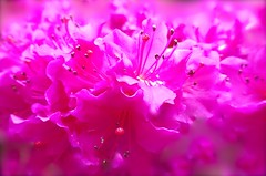 Pink Eyes (Pufalump) Tags: pink light colour nature garden petals eyes flora dof purple sweet pov sony shrub shocking