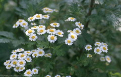 Land, Marsh Plants (Mary Gillham Archive Project) Tags: cardiff feverfew forestfarm may2000 planttree st137805 tanacetumparthenium wales