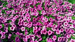 pink-flowers (jurinkof) Tags: nature background pinkflowers kvety košice ružové