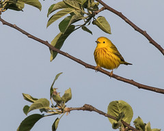 Yellow Warbler (J.B. Churchill) Tags: allegany birds maryland places rockygapsp taxonomy warblers yewa yellowwarbler cumberland unitedstates us