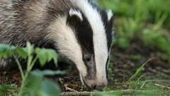 A little furry badger friend... (Cosper Wosper) Tags: somerset badger levels