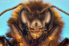 Another Dead Bee (SequentialMacro) Tags: macro canon studio francis stack bee bumble microphotography prior 550d