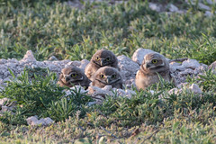 Burrowing owls in Lubbock, Texas (sjordantex) Tags: nature birds canon texas owls lubbock athenecunicularia burrowingowl 70d