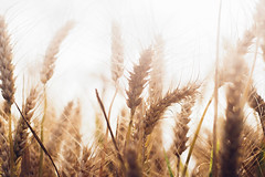 Ears Of Ripe Wheat V (SplitShire) Tags: plant field rural corn farmers farm wheat elevator grain harvest straw stack rye ear land spine hay flour bundle current chaff placer husbandry ripening ripe stubble threshing sprinkle harvesting futures arable