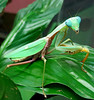 praying mantis (lisafree54) Tags: green nature animal mantis insect dangerous wildlife praying free prayingmantis arthropod cco freephotos