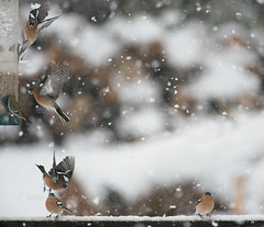 Snowy Day (kfjmiller) Tags: 14teleconverter 2016 april birdfeeder birds chaffinch define2 flight gardenbirds isleofmull nikkor300mmf4 nikon scotland snow spring winter