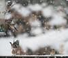 Snowy Day (Karen Miller Photography) Tags: 14teleconverter 2016 april birdfeeder birds chaffinch define2 flight gardenbirds isleofmull nikkor300mmf4 nikon scotland snow spring winter