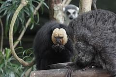 White-Faced Saki Monkey at Singapore Zoo 2016-06-14 (kuromimi64) Tags: zoo monkey singapore   singaporezoo   whitefacedsaki paleheadedsaki palefacedsaki