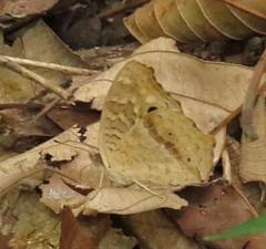 Precis lemonias, Lemon Pansy (Birdernaturalist) Tags: nepal butterfly nymphalidae nymphalinae richhoyer