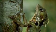 LIZARD (joelv_ph) Tags: lizard thebestofday gnneniyisi