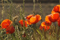 Mohn (izoll) Tags: orange sony wiese blumen blte sonnenstrahlen gegenlicht mohn mohnwiese wiesenblumen izoll alpha77ii