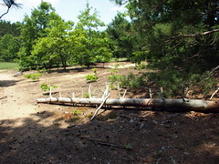 Fallen Pine (BunnyHugger) Tags: letterboxing greenville belding snakeyrun flatriverstategamearea