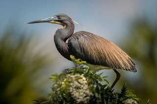 Tricolored Heron, Orange County, FL [Explore 25 June 2016]