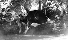 072504-sm-loose-bull-2 (Al Cerv) Tags: nobull bull rodeo salinas shotgun ragingbull ahibieneeltoro