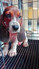 sammy the basset hound (venanciodfloresjr) Tags: hound basset