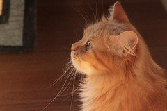 ginger (deadoll) Tags: pet cats sun sol animal cat canon fur kitten kat kittens gato 7d gata felino kit pur babycat tigrado gatotigrado canon7d catnipaddicts