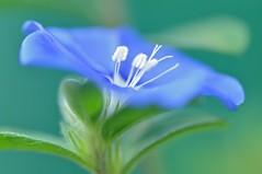 Rhapsody In Blue....... (Anna Kwa) Tags: flowers macro art garden singapore thegalaxy colorphotoaward panoramafotogrfico evovulus panoramafotografico bluedazeflowers