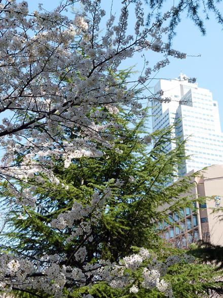 sakura tokyo