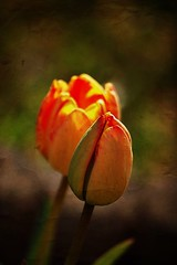 Tulip season (mamietherese1) Tags: textures tulip fa magicalmoments ict coth greatphotographers memoriesbook excellentsflowers tatot artistictreasurechest imagicland sailsevenseas fleursetpaysages onlythebestofnature ringexcellence greaterphotographers dblringexcellence cedruseternum