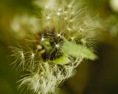April Macros (revoneb) Tags: usa macro nature spring weeds iowa siouxcity dandlelions