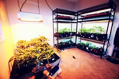 (markr82) Tags: plants plant austin texas tx seed seeds shelf inside greenplants urbangarden seedlings shelves hps seedtrays urbangardening indoorgardening pepperplants growlight containergardening highpressuresodium markrobertson mygardenschool markr82